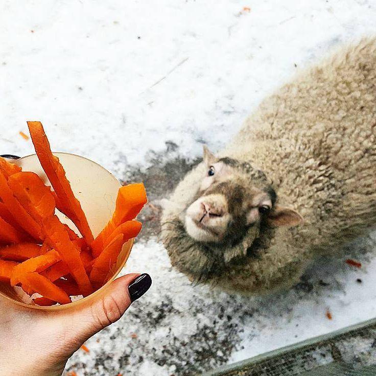карликовые овцы в зоопарке радуга