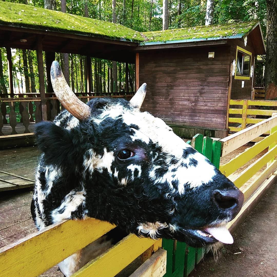 Якутская корова в зоопарке Радуга
